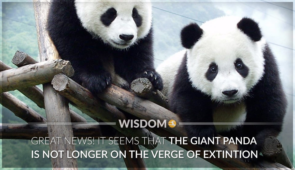 Giant Panda Extinction