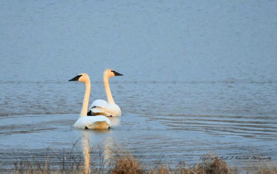 Trumpeter Swans On A Small Pond In Arkansas