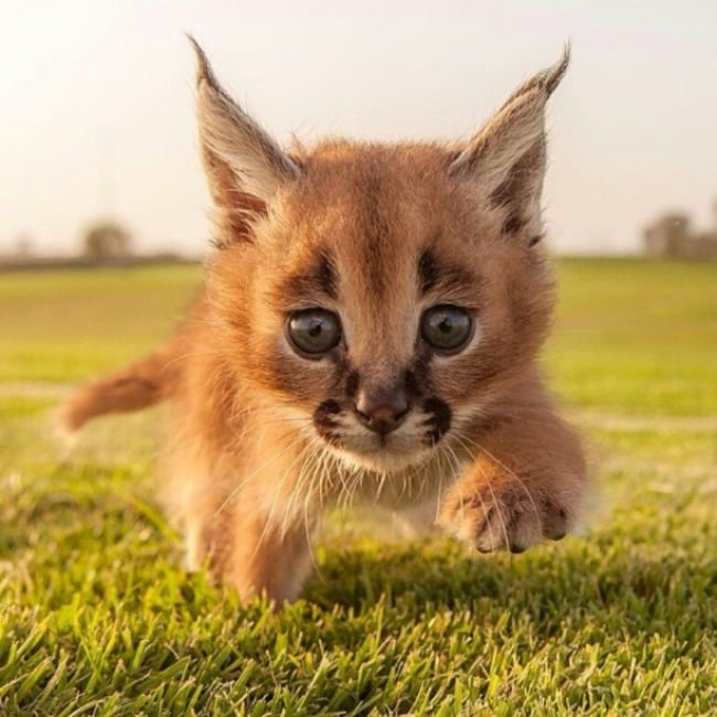 Baby Caracal Cat