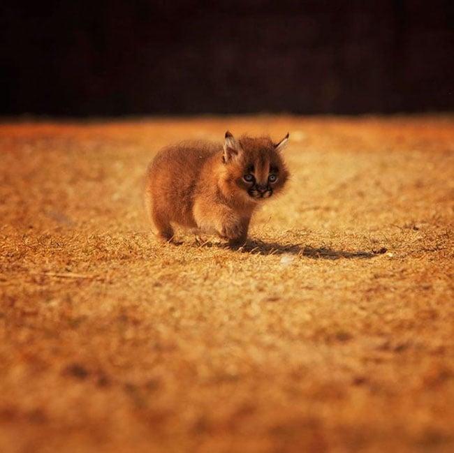 Caracal Baby Cat