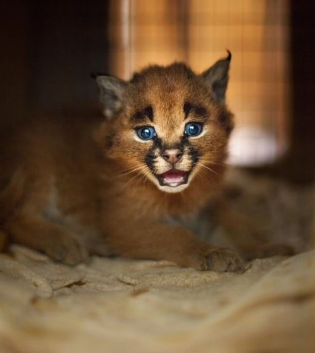 Caracal Cat Blue Eyes Roar