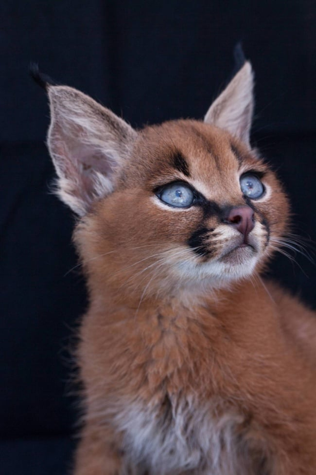 Caracal Cat Blue Eyes
