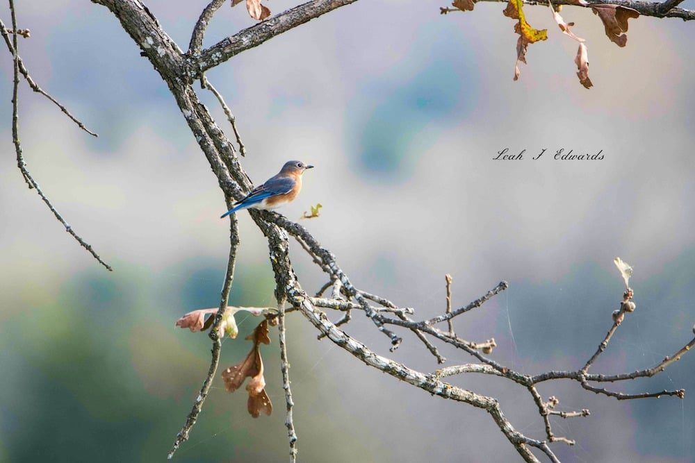 The Eastern Bluebird 2